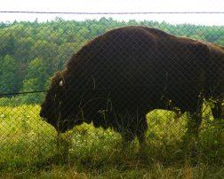 Parcul Natural Vânători - Neamț, zimbri neamț, rezervație zimbri neamț zimbri piatra neamț