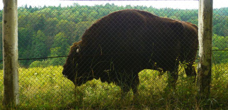 Când zimbrii din captivitate se întâlnesc cu bizonii din libertate (GALERIE FOTO)