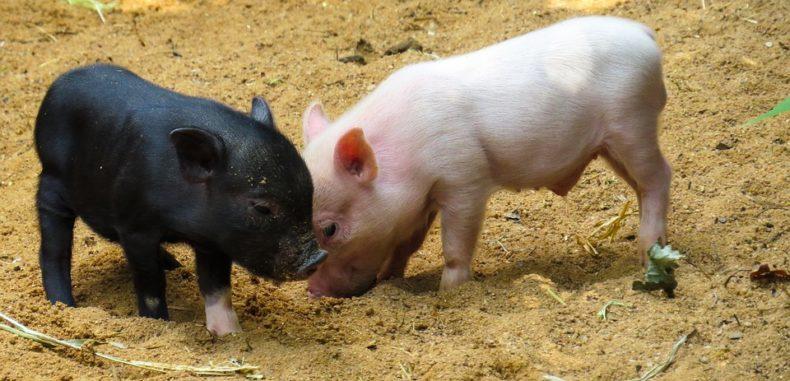 Ignatul – superstiții și obiceiuri de tăierea porcului